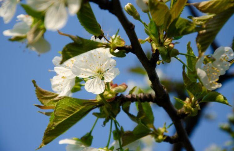 Albalı ağacı - Hekayə